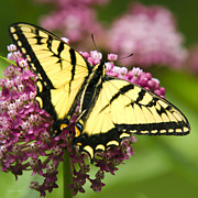 Fluttering Digital Art - Eastern Tiger Swallowtail Butterfly by Christina Rollo
