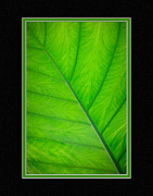 Matting Framed Prints - Elephant Ear Leaf Close-Up Framed Print by Charles Feagans