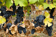 Grapevine Autumn Leaf Prints - Gamay Noir Grapes Print by Kevin Miller