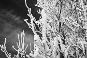 Conditions Posters - hoar frost on bare tree branches during winter Forget Saskatchewan Canada Poster by Joe Fox