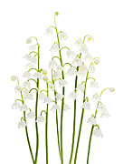 Flower Blooms Posters - Lily-of-the-valley flowers  Poster by Elena Elisseeva