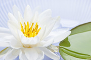 White Waterlily Framed Prints - Lotus flower Framed Print by Elena Elisseeva