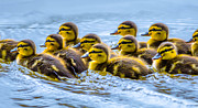 Duckies Prints - Mallard Ducklings Print by Brian Stevens