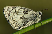 Mark Johnson - Marbled White