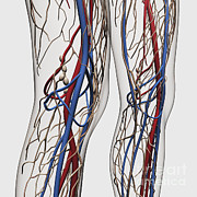 Femoral Artery Prints - Medical Illustration Of Arteries, Veins Print by Stocktrek Images