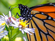 Monarch Butterfly Print by Brian Stevens
