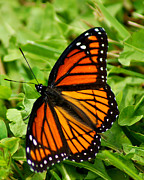 Appleton Art Framed Prints - Monarch Butterfly Framed Print by Carol Toepke