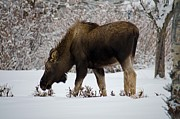 Winter Photos Posters - Moose Poster by Debra  Miller