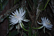 My Back Yard Prints - Night blooming cactus Print by Robert Floyd