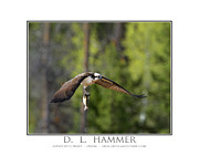 Trout Poster Photo Posters - Osprey with Trout Poster by Dennis Hammer