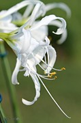 Jem Fine Arts Photos - Peruvian Daffodil named Advance by J McCombie