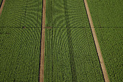 Agronomy Prints - Planted Cabbages Near The Village Of Print by Steve Brockett