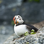 Puffin Photo Posters - Puffins Poster by Heiko Koehrer-Wagner