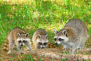 Raccoon Prints - Raccoons Print by Millard H. Sharp