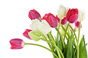 Petal Photo Prints - Red and white tulips Print by Elena Elisseeva