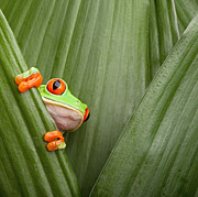 Hiding Posters - Red Eyed Tree Frog  Poster by Dirk Ercken