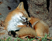 United States Wildlife Framed Prints - Red Fox Framed Print by Millard H. Sharp
