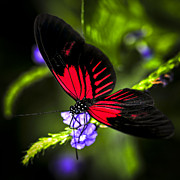 Flying Framed Prints - Red heliconius dora butterfly Framed Print by Elena Elisseeva