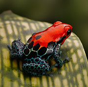 Red Poison Dart Frog Print by Dirk Ercken