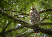 Bird Rookery Swamp Prints - Red Shouldered Hawk Print by Bill Martin