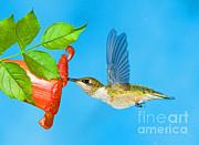 Millard H Sharp - Ruby Throated Hummingbird Female