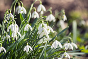 Gardening Photography Posters - Snowdrop Flower - VanDusen Botanical Garden Poster by May L