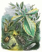 Pupa Prints - The Butterfly Vivarium Print by English School