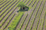 Vineyards Photos - Tuscany - Montalcino by Joana Kruse