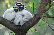 Trio Photos - Verreauxs Sifaka Propithecus Verreauxi by Cyril Ruoso