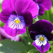 Sorbet Prints - Viola named Sorbet Plum Velvet Jump-Up Print by J McCombie