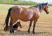 Millard H Sharp - Wild Horse Mother And Foal