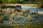 Grazing Horse Photo Posters - Wild Spanish Mustang Poster by John Greim