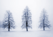 Tall Trees Prints - Winter trees in fog Print by Elena Elisseeva