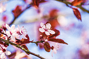 Cherry Blossom Prints - Cherry Blossom - Sakura - Spring Flower Print by May L