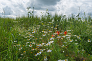 Limburg Photo Prints - Wild flowers in a field in summer Print by Jan Marijs