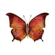 White Background Originals - 58 Andria Butterfly by Amy Kirkpatrick