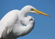 Thomas Photography  Thomas - Great White Egret