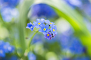 Tiny Leaves Prints - Forget-Me-Not - Myosotis - VanDusen Botanical Garden Print by May L