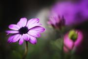 HJBH Photography - A daisy