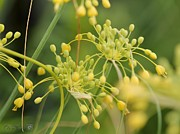 Mccombie Photos - Allium Flavum or Fireworks Allium by J McCombie