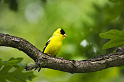 Bird Feeding Posters - American Goldfinch Poster by Christina Rollo