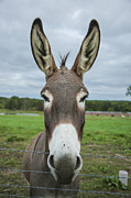 Animal Personalities Friendly Quirky Donkey Face Close Up Print by Jani Bryson