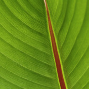 My Sold Greeting Cards - Banana Leaf by Heiko Koehrer-Wagner