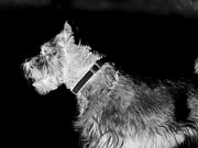 Schnauzer Art Photos - Benny by Mickey Harkins