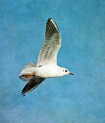 Flypaper Textures Photos - Black- Headed Gull by Margaret S Sweeny