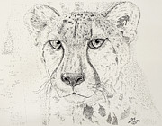 Cheetah Drawings Framed Prints - Cheetah Framed Print by Matt Steffen
