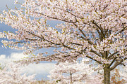 Gardening Photography Posters - Cherry Blossom - Sakura - Vancouver Poster by May L
