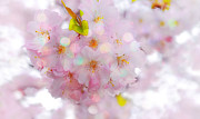Cherry Blossoms Photos - Cherry Blossoms by Charline Xia