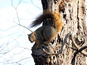 Eastern Fox Squirrel Framed Prints - Eastern Fox Squirrel Framed Print by Jack R Brock