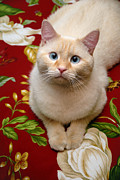 Pet Portrait Framed Prints - Flame Point Siamese Cat Framed Print by Amy Cicconi
